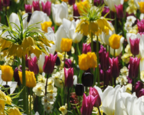carexTours Hm snippet Tulips tall